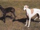 格力犬价格格力犬多少钱格力犬图片