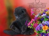 猫舍直销英短蓝猫 英国短毛蓝猫 纯种活体幼猫家养