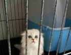 高地折耳小公1600 猫咪价格以标题价格为准