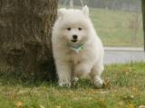 鄭州出售 純種薩摩耶幼犬 狗狗出售 可簽協議健康保障