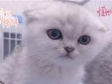 折耳猫幼猫纯种 折耳猫家养折耳猫宠物苏格兰折耳猫