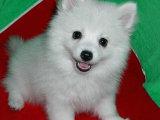 高品質 銀狐幼犬 日本仲犬 包健康純種