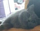 纯种英短渐层英短蓝猫美短虎斑种公借配回购猫咪出售