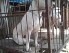 血统杜高犬低价出售 杜高犬多少钱一只