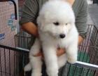 优质大白熊 各种价位 各种名犬