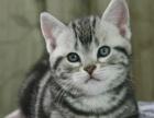 美短猫 纯种好血统家养宠物猫咪美国短毛虎斑猫