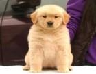 长期繁殖双血统赛级金毛 各类纯种名犬