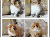 貓舍出售純血統加菲貓 尋找新主人家庭式繁育可上門挑選