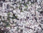 荔波梅花节2月2-3/3-4日荔波大小七孔 梅花节纯玩两日游