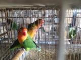 珍珠鸟各种鹦鹉批发零售