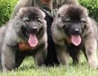 西安 高加索幼犬 保证纯种健康 签订活体协议 包退换