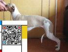 出售纯种格力犬 灵缇犬 品质好信誉高质量保