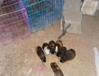 家养老鼠兔,竹鼠出售