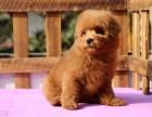 價格可優惠,純種泰迪熊犬出售,品質保障疫苗齊全包健康