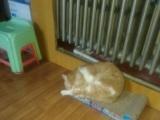 1岁加菲猫男孩领走