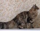 CFA证书正宗纯种挪威森林猫,上海哪家猫舍挪威森林猫最好
