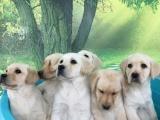 济南 拉布拉多幼犬 保证纯种健康 签订活体协议 包退换