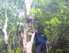 兰花盆景树桩