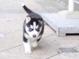 哈士奇雪橇犬直销 颜色纯头版正形象好健康保障
