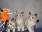 出售海豹布偶猫宠物猫布偶猫家养布偶猫幼猫包养活
