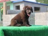 济南哪里有犬舍卖白色拉布拉多 济南黑色拉布拉多怎么卖的