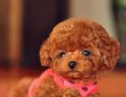 韩系精品小体泰迪熊 娃娃脸迷你泰迪