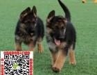 上海德国牧羊犬什么价格 买卖黑背图片锤系德牧狼狗养殖基地