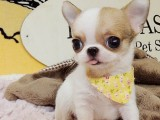 重庆出售茶杯犬 卖茶杯犬 茶杯犬
