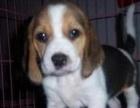 纯种比格幼犬出售中一对一拍摄让您挑选更方便