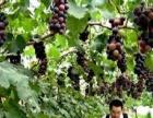清徐葡萄采摘园节假日的好去处、体验农村的生活气息
