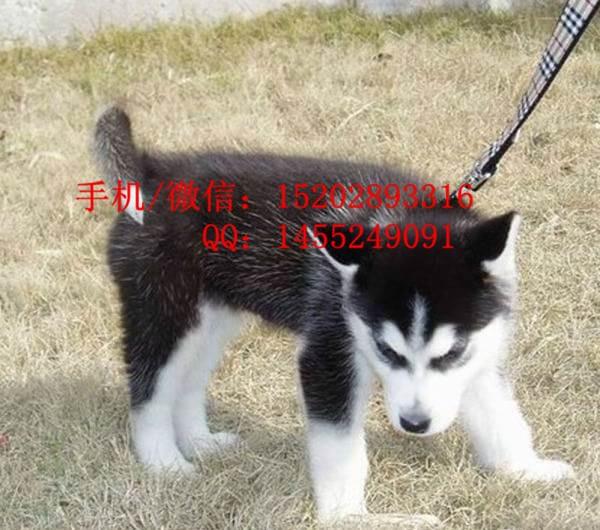 重庆哪里有哈士奇雪撬犬卖重庆的哈士奇好多钱 纯种哈士奇多少钱