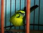 出售通眉大金黄鸟,有兴趣的可以联系
