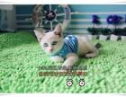 长春买猫 出售纯种健康暹罗猫 海豹色公母均有 已做好疫苗驱虫