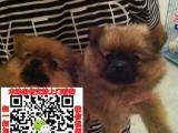 河南郑州博美犬免费领养 博美养殖基地价格 长不大茶杯哈多利
