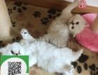徐州哪里有布偶猫出售 徐州布偶猫价格 布偶猫多少钱