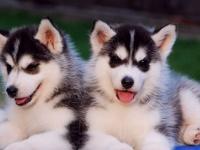 重庆出售纯种哈士奇幼犬 专业养殖 健康品质 品相完美
