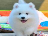 本地出售澳版萨摩耶宝宝 微笑脸双眼皮