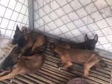 纯种黑马犬那里有卖的 黑马幼犬低价格