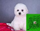 出售韩国引进大眼睛甜美脸型比熊幼犬保纯种健康质保终身