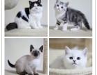 沈阳蓝猫幼猫 金吉拉幼猫 布偶 银渐层 暹罗猫(包纯种健康)
