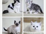 銀點漸層 布偶 藍貓找靠譜家長