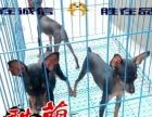 珠海酷萌狗场出售的小鹿犬 哪里有卖小鹿犬一只多少钱