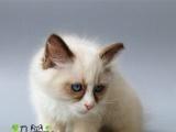 专业家庭式繁殖 异国短毛猫加菲猫、英短、美短、折
