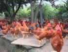 散养土鸡土鸡蛋配送上门 专业食堂餐馆家庭无公害食材配送公司