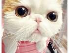 呆萌可爱包子脸加菲猫可好养