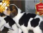 冠军后代双血统比格犬一窝 证书可查可以看狗父母