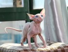 纯白皮蓝眼妹妹五个月 斯芬克斯猫加拿大无毛猫母
