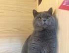 【安琪猫舍】专业繁育纯种英短蓝猫、折耳、立耳均有