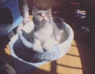 武汉出售英短美短加菲暹罗金吉拉豹猫布偶无毛猫
