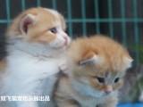 杭州南京苏州宁波怎么挑选加菲金吉拉豹蓝暹罗无毛猫 双飞猫
